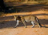 Yala's leopards